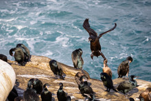 Cormorant Bird Coming In For A...