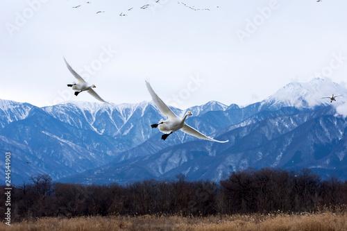 下降する白鳥と北アルプス