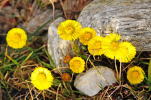 The First Spring Flowers Are Mother And Stepmother In The Mountains. Medicinal Plant