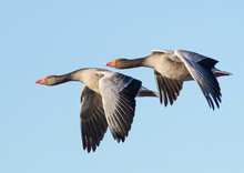 Greylag Goose Flying