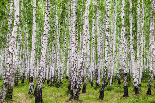 Papiers peints Bosquet de bouleaux Image with birch forest.