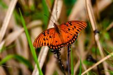 """Gulf Fritillary """"Passion Butterfly"""""""