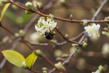 White Tailed Bumblebee On Honeysuckle Flowers In Winter