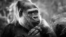 Black And White Portrait Of A Gorilla