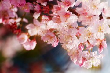 Fototapeta Do pokoju Sakura Flower or Cherry Blossom With Beautiful Nature Background