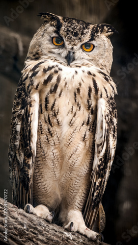 The adult Eurasian eagle owl sits on a tree branch.