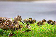 Mother Duck And Ducklings In Grass
