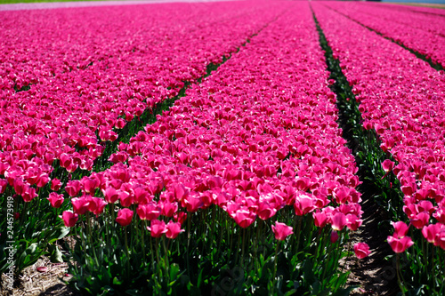 Deurstickers Roze field of blooming tulips.