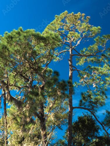 Photo  HDR Long needle pine against a vivid blue sky 1