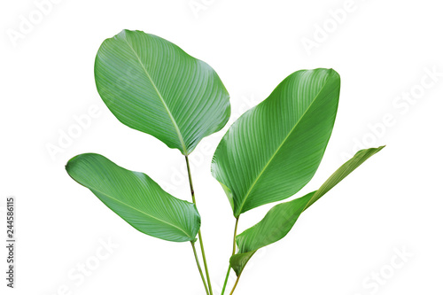 Poster Vegetal Tropical Green Leaves of Calathea lutea (Aubl.) G. Mey., Cigar Calathea Plant Isolated on White Background