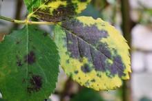 Diplocarpon Rosae, Rose Black Spot Disease