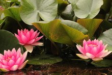 Waterlily Flowers And Green Le...