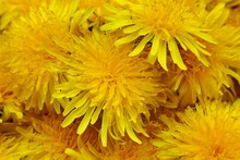 Yellow Dandelion Flower  Macro Background. Spring Yellow Flowers. Floral Natural Background