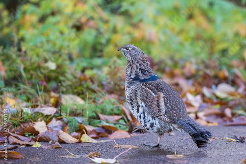 Canvas-taulu Male ruffed grouse (Bonasa umbellus) in autumn
