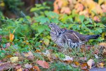 Male Ruffed Grouse (Bonasa Umb...
