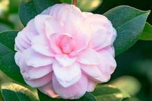 Rosa Kamelie Japonica L. 'Cheryl Lynn' Theaceae