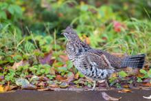 Male Ruffed Grouse (Bonasa Umbellus) In Autumn