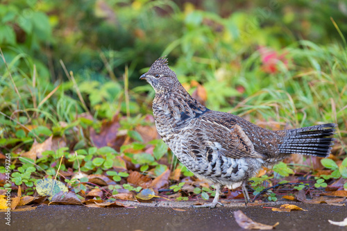 Fotomural Male ruffed grouse (Bonasa umbellus) in autumn