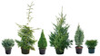 Picea - different varieties, shapes and sizes