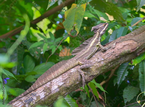 Brown basilisk, or Yellow-striped Basilisk, Jesus Christ Lizard on the branch, Costa Rica
