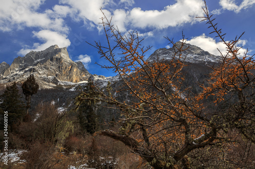 Wild Yellow Sea Buckthorn Berries growing in natural countryside environment, Sea Buckthorn Tree Forest in Shuangqiao valley - Four Girls Mountain National Park, Sichuan Province China. Snow mountains