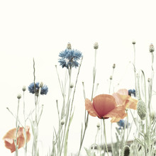 Blossoming Poppies And Cornflowers. Retro Effect Is Added