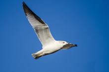 Ring-Billed Gull Flying In A B...