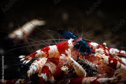 Fototapeta Crystal red shrimp swarm eat aquarium pets obraz na płótnie