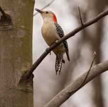 Red-bellied Woodpecker Calls I...