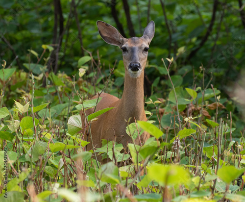 Photo white-tailed deer in the forest