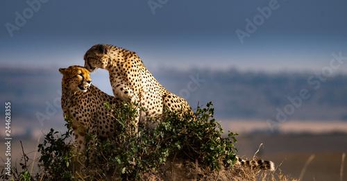 Fotografie, Obraz  Two cheetahs on rock