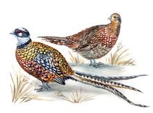 A Pair Of Royal Pheasants (Syr...