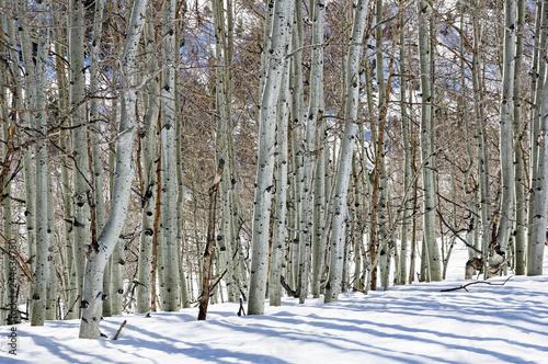 Tuinposter Berkbosje Winter Aspen Trunks