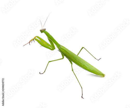 Fototapeta  Praying mantis on white background.(selective focus)