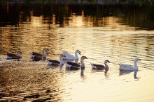 Group Of Goose Swimming And Fo...