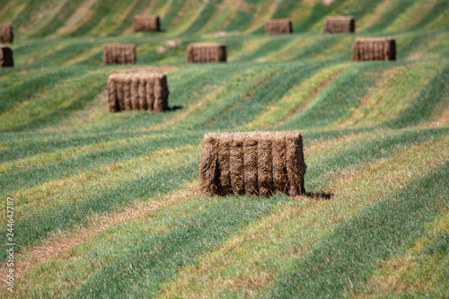 Freshly made medium square hay bales dot the landscape of green striped rows in Canvas Print