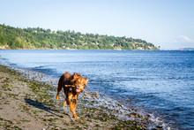 Brown Dog Runs Along The Beach...