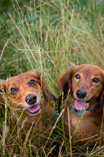 Two dachshunds smiling in the long grass.