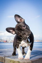 French Bulldog Puppy Stands Looking At The Viewer With Her Head Tilted.
