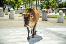 A Cow In Ngong Ping Village On...