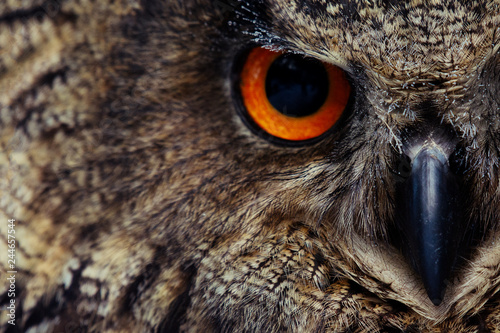 Owls Portrait. Owl eyes. - Image