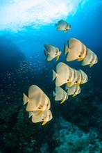 A School Of Large Longfin Batf...