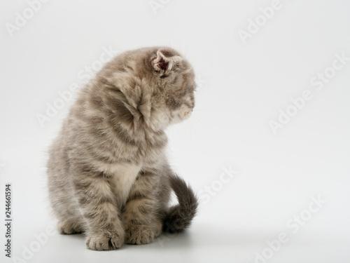 Foto  little kittens british fold on white background