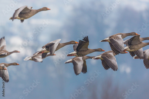 gray geese group (anser anser) in flight