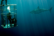 Cage Dive With White Shark Rea...