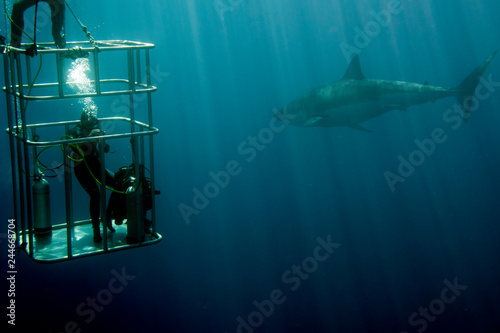 Fotografie, Obraz  cage dive with White shark ready to attack