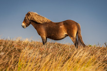 Wild Exmoor Ponies, Seen On Po...