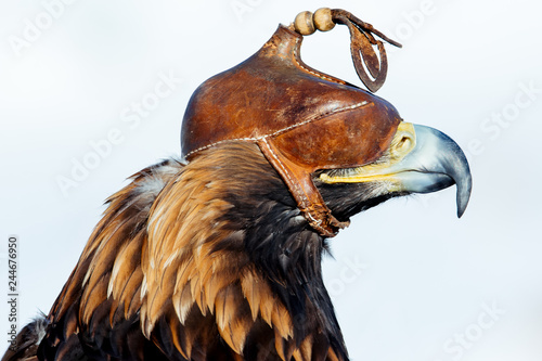 Golden eagle close-up head in a leather cap. - Image