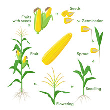 Maize Plant Growth Infographic Elements From Seeds To Fruits, Mature Corn Ears. Seedling, Germination, Planting, Flowering. Vector Encyclopedic Illustration. Corn Life Cycle In Flat Design.