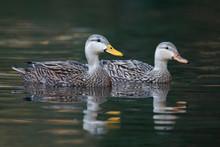 Pair Of Mottled Ducks Swimming...